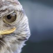 Nahaufnahme Kopf Greifvogel